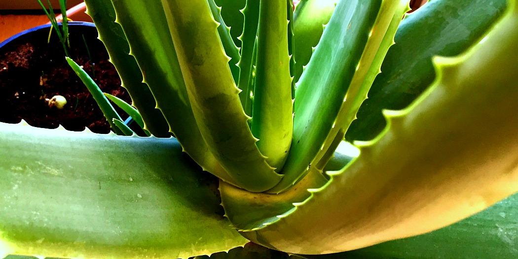 das wunderbare gel der eigenen aloe vera pflanze nutzen