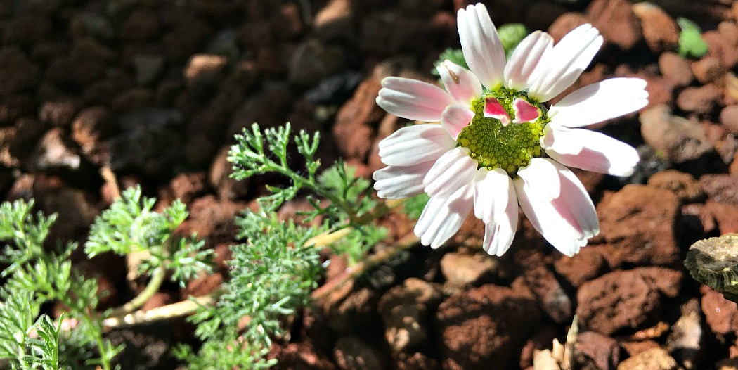 Bertram – Diese Pflanze ist der Turbo für die Verdauung und Resorption von Vitalstoffen