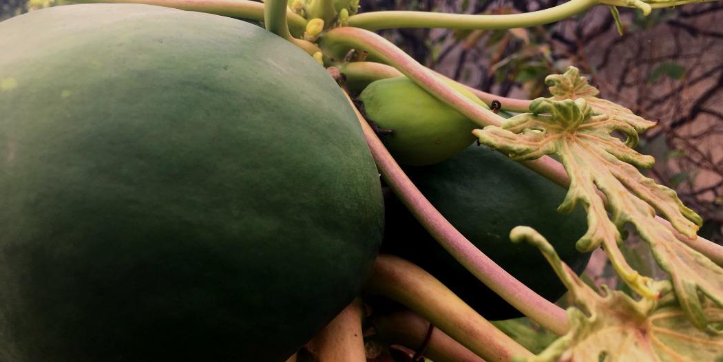 Lebenswichtige Enzyme mit Papaya auffüllen und ganzheitlich regenerieren
